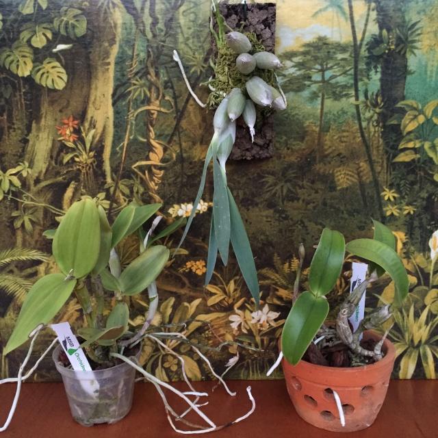 Orchideen-Neuzugang - Seite 5 Img_0710