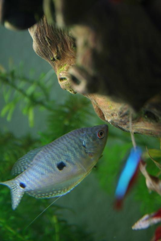 Trichopterus (Gourami Bleu) - couple ? Img_8616