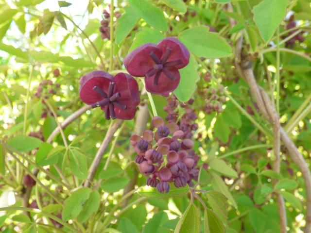 Akebia quinata - liane ou vigne chocolat P1000410