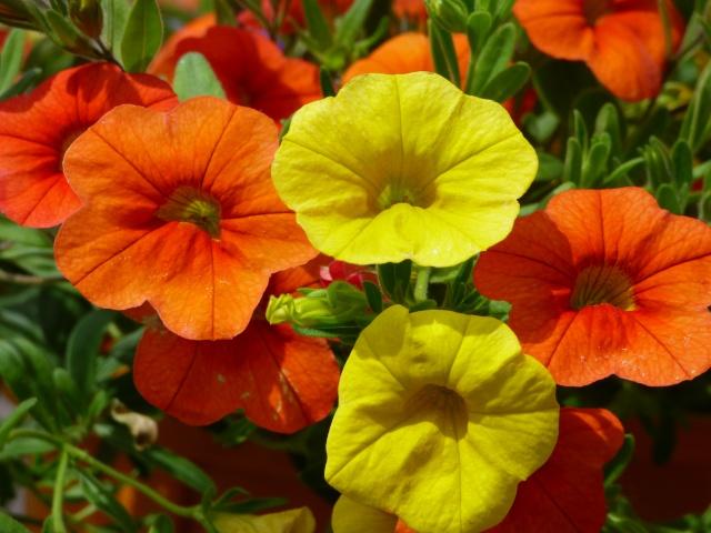 le joli mois de mai des fous jardiniers - Page 4 P1000712