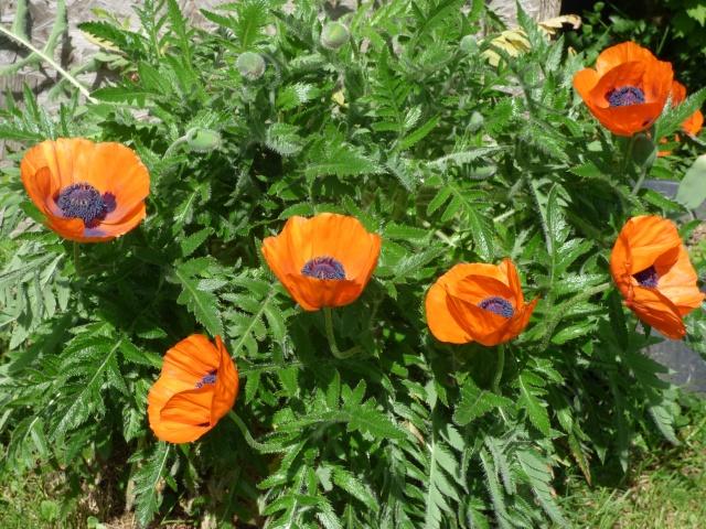 le joli mois de mai des fous jardiniers - Page 5 P1000810