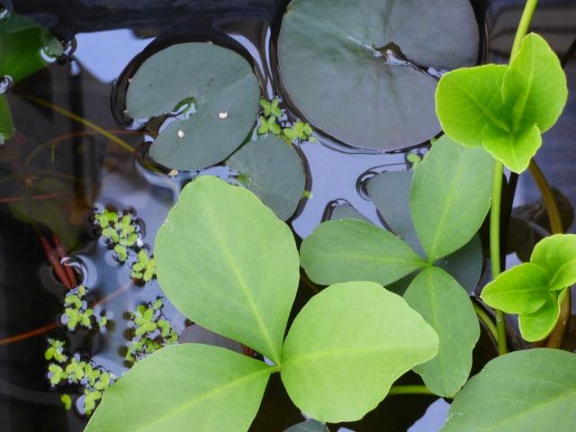 Menyanthes trifolium - ményanthe trifolié, trèfle d'eau P1000812