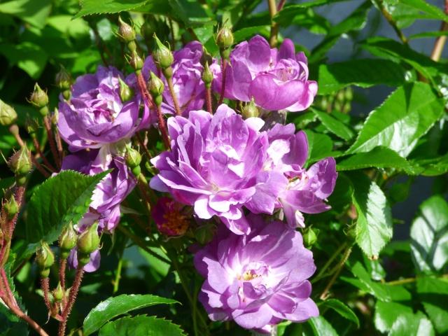 le joli mois de mai des fous jardiniers - Page 6 P1000911