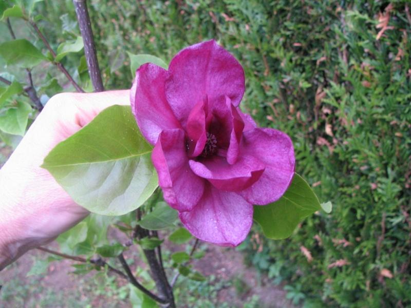 Magnolias - Page 15 Img_3310