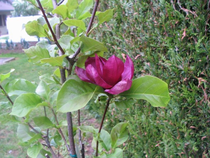 Magnolias - Page 15 Img_3311