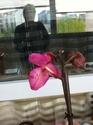 Tâches noires sur fleurs de Phalaenopsis Img_1013