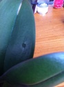 Tâches noires sur fleurs de Phalaenopsis Img_1014
