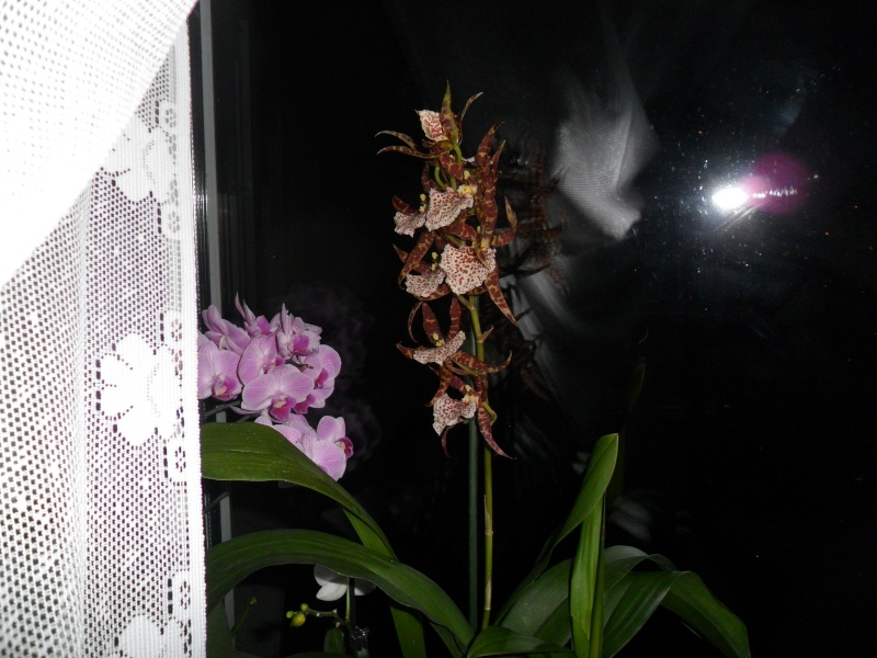 Mes orchidees Sam_2216