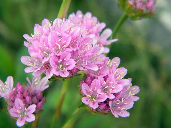 Flore auvergnate 0411