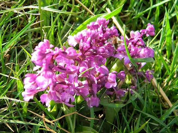 Flore auvergnate Orchis10