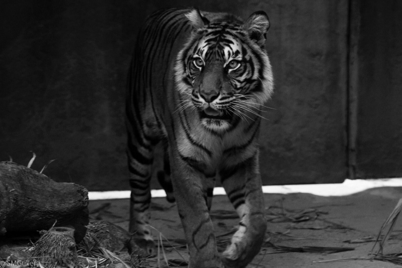 May Competition - Monochrome Tiger_11
