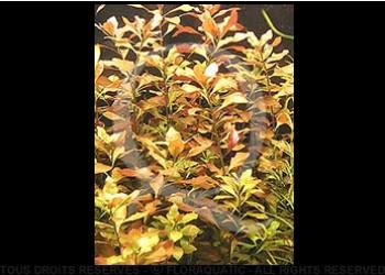 juwel trigon 350 litres biotope amazonien  - Page 2 Lud_re10