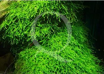 juwel trigon 350 litres biotope amazonien  - Page 2 Vesicu10