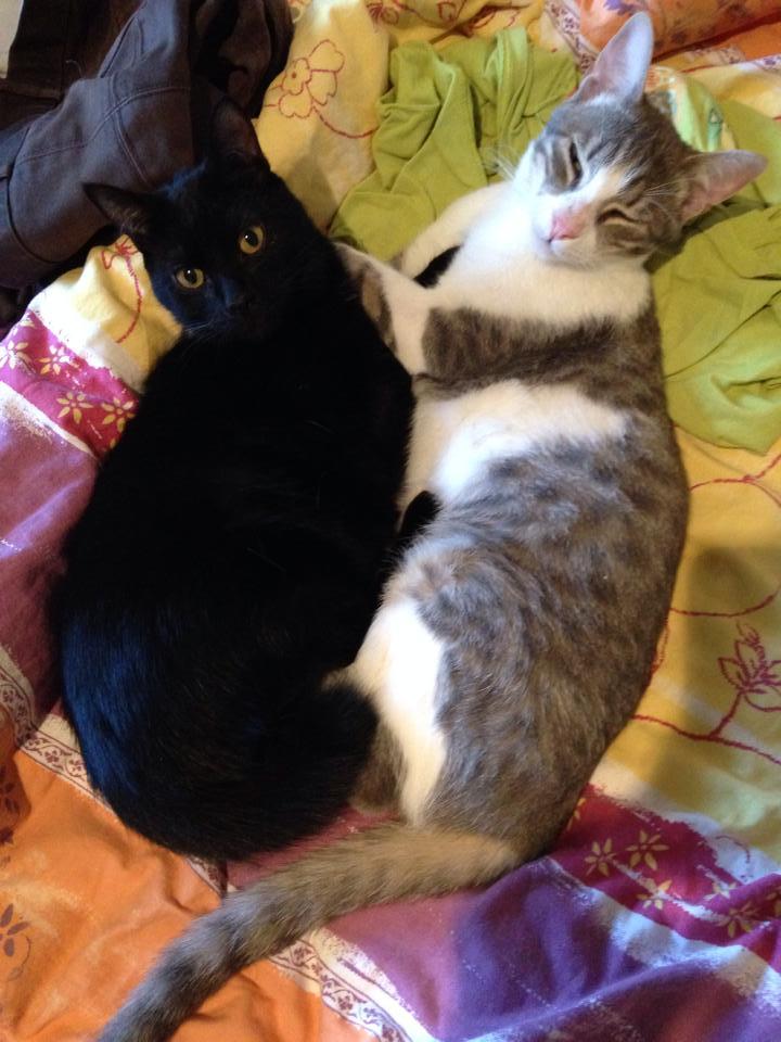 jean s - Jean's, chaton de type européen gris tabby et blanc, né le 06/09/2014 11292810