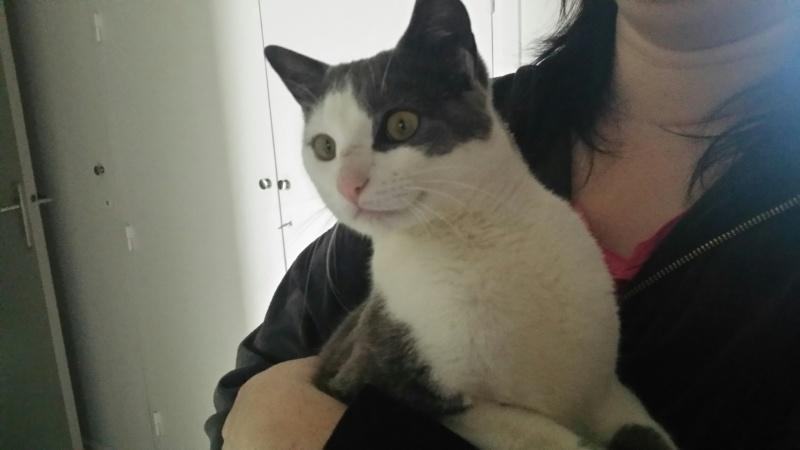JACKPOT, chat européen gris et blanc, né en avril 2014 20150311