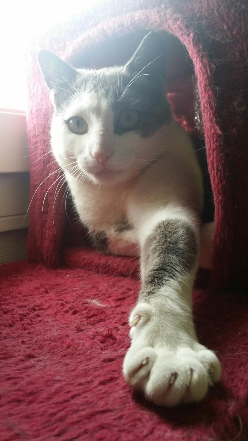 JACKPOT, chat européen gris et blanc, né en avril 2014 20150312