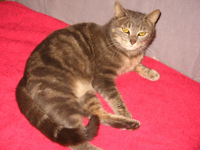 Hanaé, femelle tigrée grise née en 2012  Dulcin11