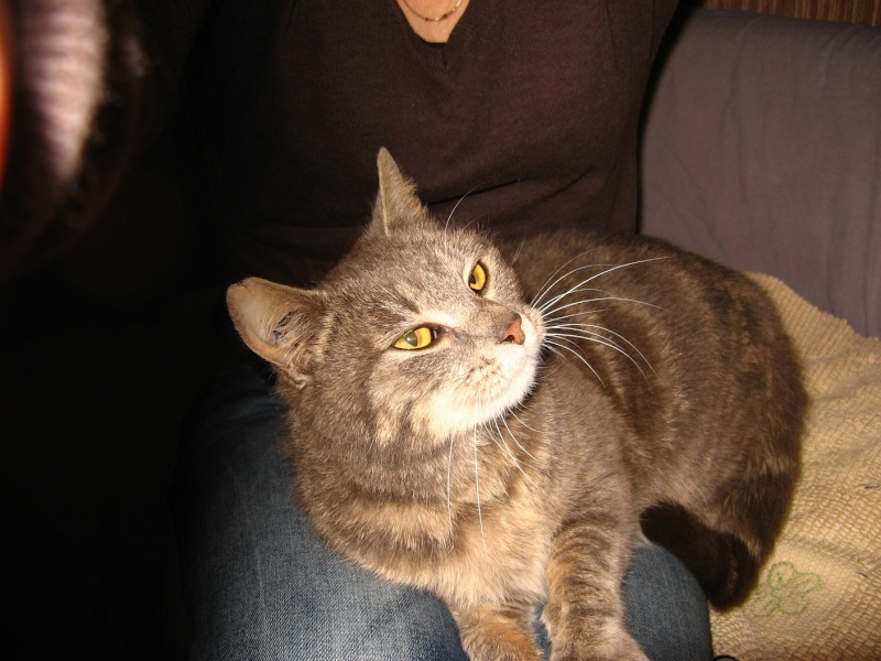 Hanaé, femelle tigrée grise née en 2012  Dulcin13