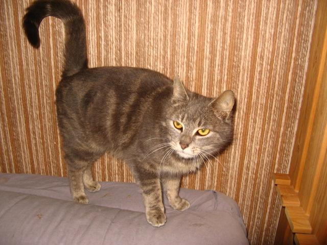 Hanaé, femelle tigrée grise née en 2012  Dulcin14