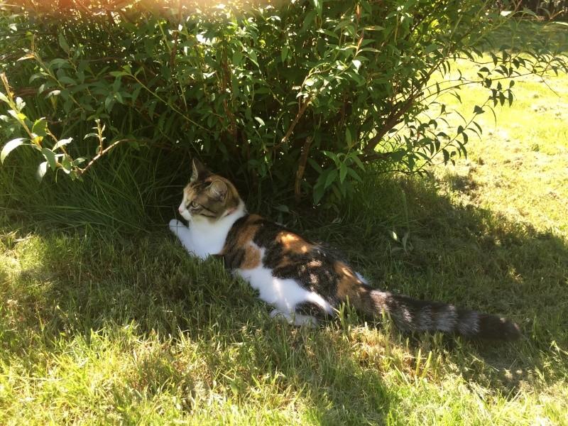 jounette - JOUNETTE, jeune chatte tricolore, née en  Mai 2014 Img_1310