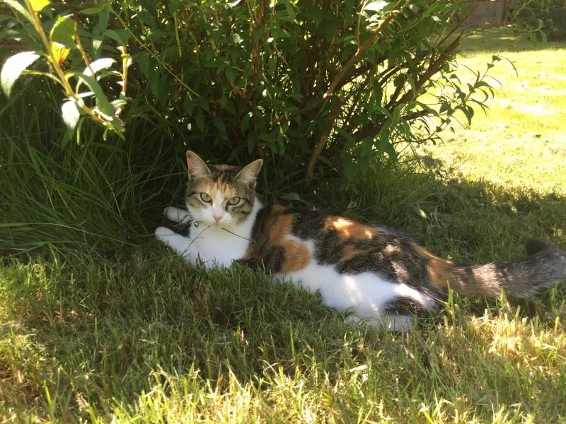 jounette - JOUNETTE, jeune chatte tricolore, née en  Mai 2014 Img_1311