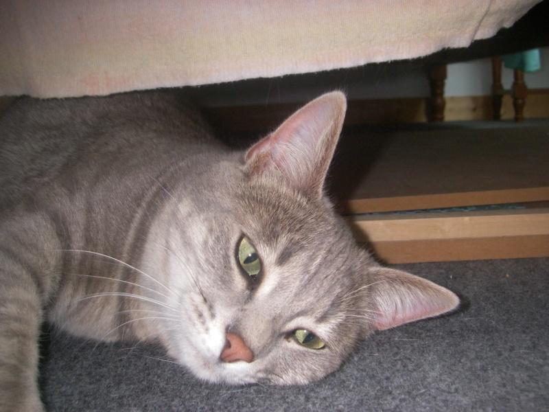 Jadore, chatonne grise tigrée  née en mai 2014  Imgp0310