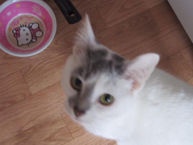 JOEY, chaton européen gris et blanc, né le 30/03/2014 Photos10
