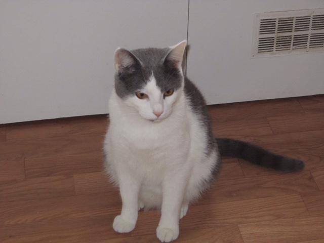 JOEY, chaton européen gris et blanc, né le 30/03/2014 Photos11