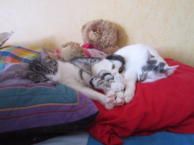 JOEY, chaton européen gris et blanc, né le 30/03/2014 Photos12