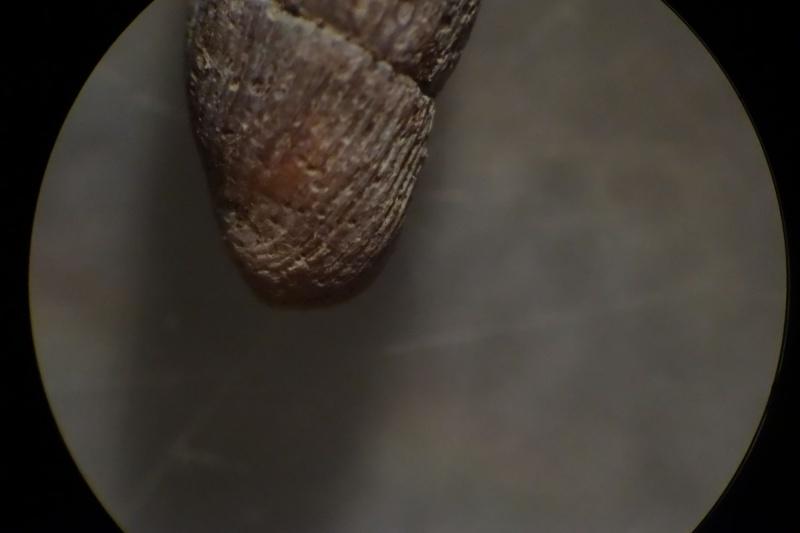 Macrogastra plicatula (Draparnaud, 1801)  7_avri11