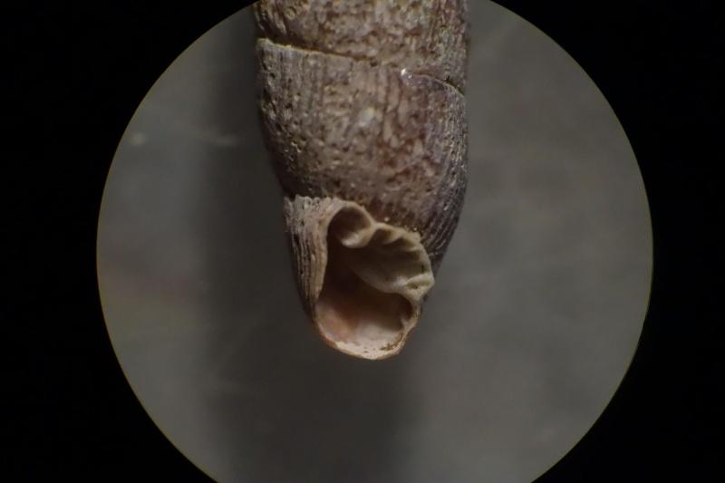 Macrogastra plicatula (Draparnaud, 1801)  7_avri12