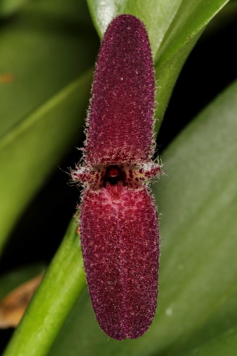 Restrepiella ophiocephala Restre10