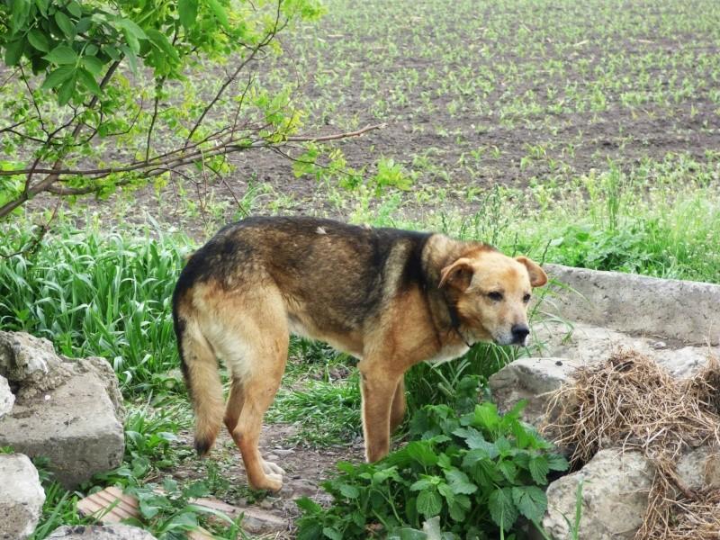 SIMBA, mâle âgé croisé berger taille moyenne né env 2005 (PASCANI)-En fourrière - Page 2 Simba110