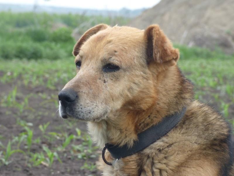 SIMBA, mâle âgé croisé berger taille moyenne né env 2005 (PASCANI)-En fourrière - Page 2 Simba210