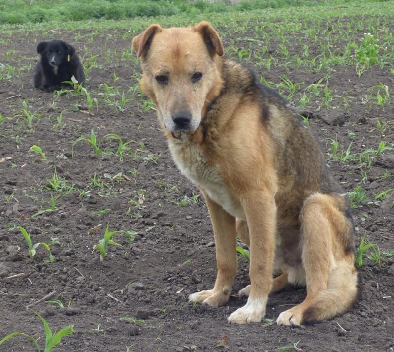 SIMBA, mâle âgé croisé berger taille moyenne né env 2005 (PASCANI)-En fourrière - Page 2 Simba310