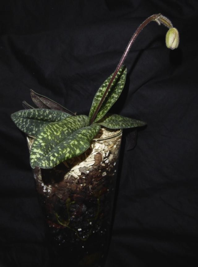 Paphiopedilum delenatii P1010710