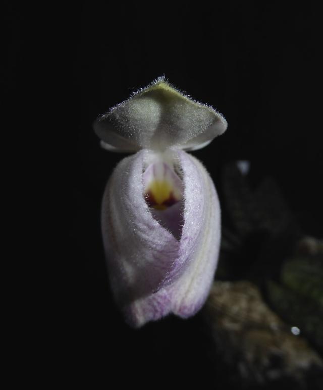 Paphiopedilum delenatii P1010814