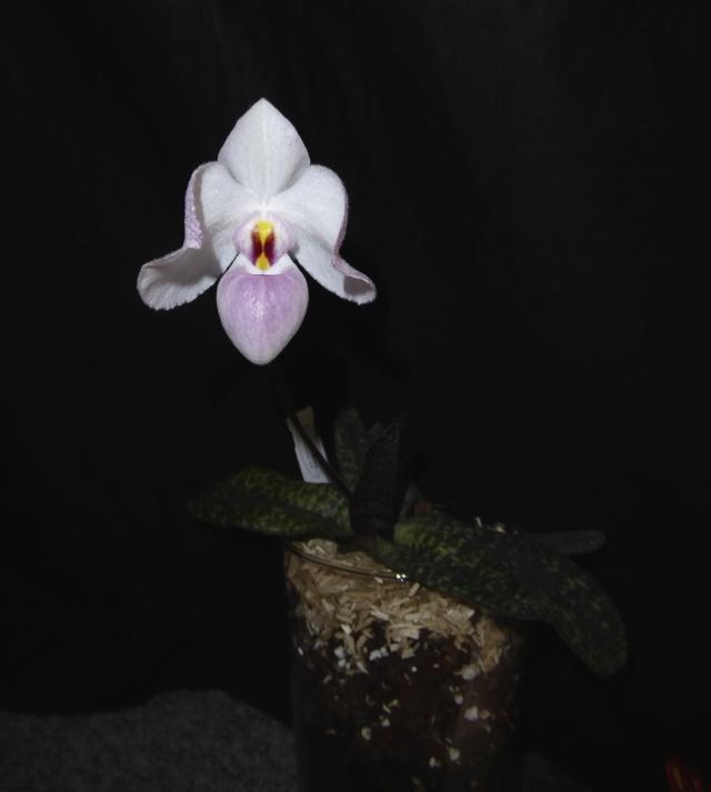 Orchidee in Glasvase 2 - Seite 14 P1010819