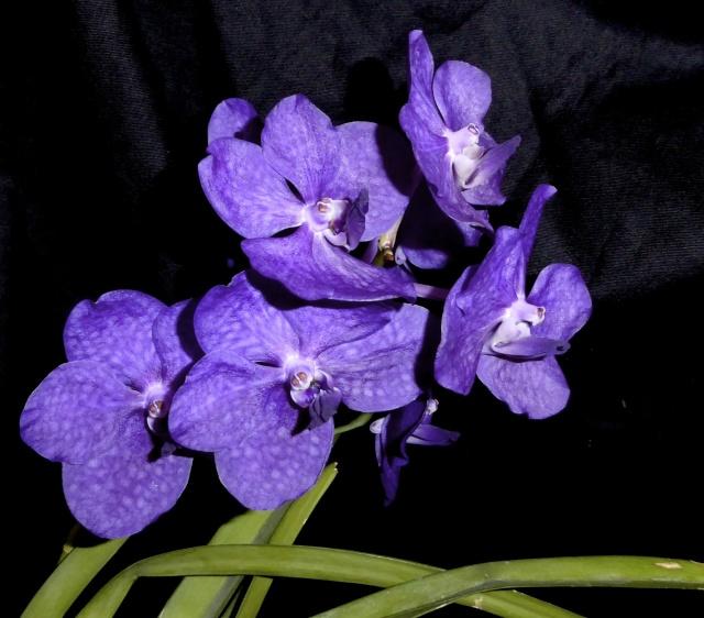 Vanda Magic Blue - Seite 2 P1020014