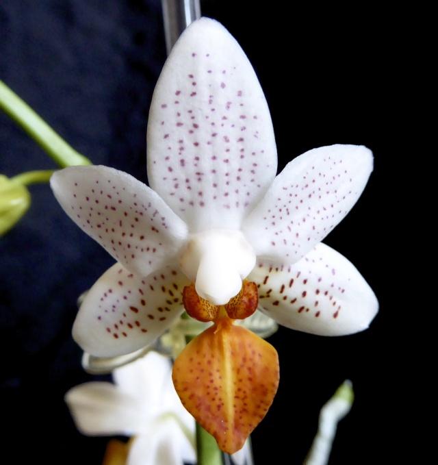 Phalaenopsis Mini Mark - Seite 4 P1020033