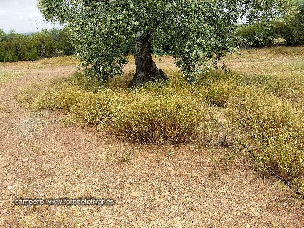Consejo compra desbrozadora manual (Badajoz) Ruedos12