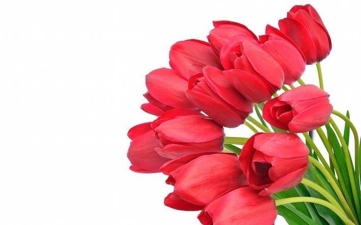 Tulipes en Hollande Tulipe10