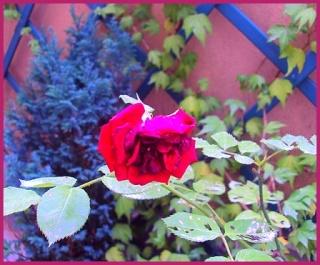 La photo du dimanche (2) - Page 6 Rose_d10