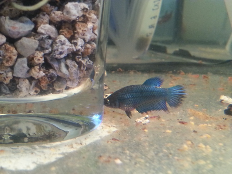 Repro papillon bleu  X. black copper 20150312