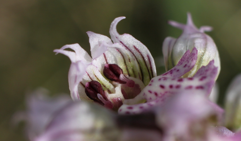 Neotinea lactea Fleurs soudées 1-img_38