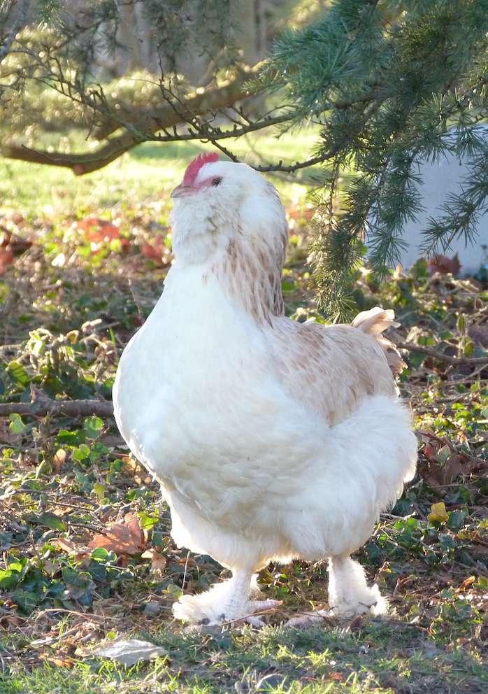 poule - Concours Miss poule - Page 2 P1160811