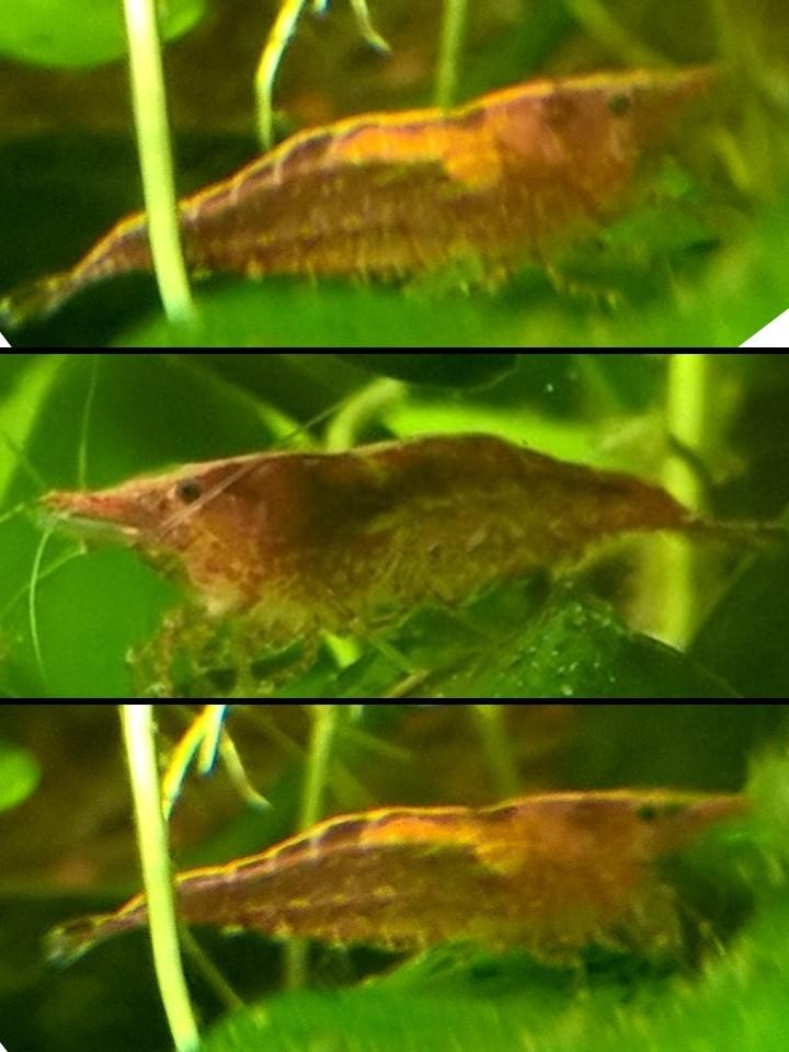 identification crevettes Hhhhhh10