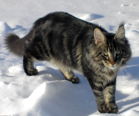 Wolf's ThunderClan Kitties Wolfhe10