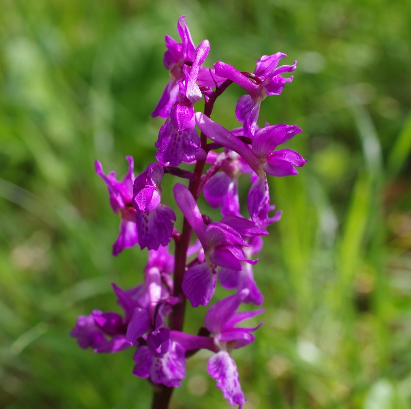 Orchis mascula x Orchis provincialis 113