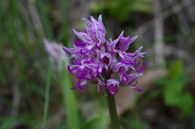 Orchis x bergonni 114